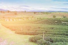 Piantagione di tè verde sull'alta collina Fotografie Stock Libere da Diritti