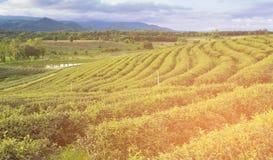 Piantagione di tè verde sull'alto pendio della collina Immagine Stock Libera da Diritti