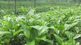 Piantagione di tè in Wonosobo L'Indonesia, Java video d archivio