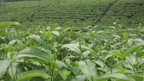 Piantagione di tè in Wonosobo L'Indonesia, Java stock footage