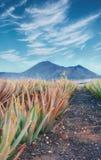 Piantagione di vera dell'aloe a Fuerteventura Fotografia Stock