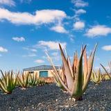 Piantagione di vera dell'aloe a Fuerteventura Fotografia Stock Libera da Diritti
