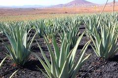 Piantagione di Vera dell'aloe; Fuerteventura, isole Canarie. Fotografia Stock Libera da Diritti