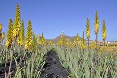 Piantagione di vera dell'aloe su Fuerteventura Fotografie Stock Libere da Diritti