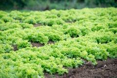 Piantagione di verdure Fotografie Stock