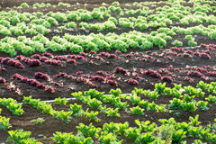 Piantagione di verdure Immagine Stock