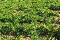 Piantagione di verdure dei carciofi nell'isola di Creta Fotografie Stock