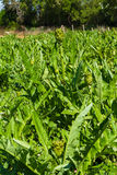 Piantagione di verdure del carciofo Mediterraneo su Creta, Grecia Immagini Stock