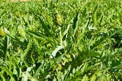 Piantagione di verdure del carciofo Mediterraneo su Creta, Grecia Immagine Stock Libera da Diritti