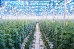Piantagione di verdure moderna in serra Fotografie Stock Libere da Diritti