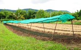 Piantagione di verdure in Tailandia Fotografie Stock Libere da Diritti