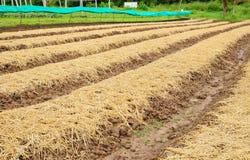 Piantagione di verdure in Tailandia Immagine Stock Libera da Diritti
