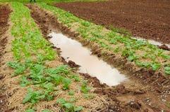 Piantagione di verdure in Tailandia Fotografia Stock