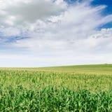 Piantagione e cielo blu del cereale Fotografia Stock