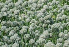Piantagione e fiori del raccolto della cipolla Fotografia Stock Libera da Diritti