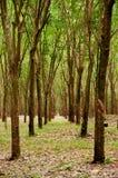 Piantagione fertile verde dell'albero della gomma in Tailandia del sud Fotografia Stock
