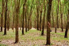 Piantagione fertile verde dell'albero della gomma in Tailandia del sud Immagine Stock