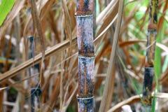 Piantagione fresca della canna da zucchero, primo piano della canna da zucchero, agricoltura della canna da zucchero Fotografie Stock