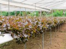 Piantagione idroponica della lattuga di foglia della quercia rossa Fotografie Stock