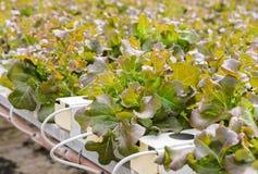 Piantagione idroponica delle verdure della lattuga Fotografia Stock Libera da Diritti