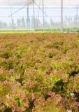 Piantagione idroponica delle verdure della lattuga di foglia Immagine Stock