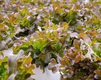 Piantagione idroponica delle verdure della lattuga di foglia della quercia rossa Immagini Stock