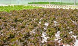 Piantagione idroponica delle verdure della lattuga di foglia della quercia rossa Fotografia Stock