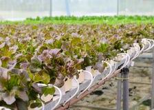 Piantagione idroponica delle verdure della lattuga di foglia della quercia rossa Fotografia Stock Libera da Diritti
