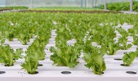 Piantagione idroponica delle verdure della lattuga di foglia di Fillie Iceburg Fotografie Stock
