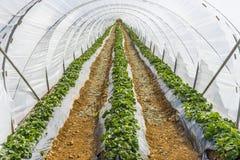 piantagione in Mallorca Immagini Stock Libere da Diritti