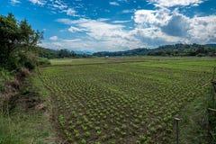 Piantagione nel campo di agricoltura con luce solare ed il cielo nuvoloso Immagini Stock