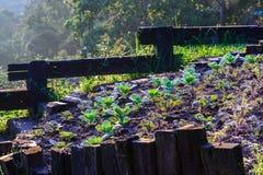 Piantagione organica del cavolo di mattina Immagini Stock