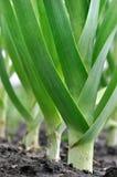 Piantagione organicamente coltivata del porro nell'orto Immagine Stock