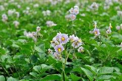 Piantagione organicamente coltivata della patata nel luccio di verdure Fotografia Stock Libera da Diritti