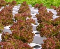 Piantagione rossa idroponica delle verdure della lattuga di foglia Fotografia Stock Libera da Diritti