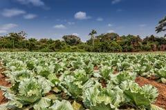 Piantagione rurale dei cavoli in mezzo alla giungla di cabinda L'Angola, Africa Immagine Stock Libera da Diritti