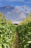 Piantagione sbocciante vicino a Eilat, Israele del cereale Immagine Stock Libera da Diritti