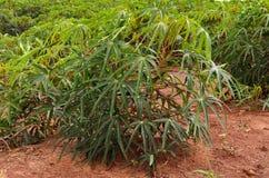 Piantagione su un'azienda agricola, agricoltura di Mandioca del Sudamerica Fotografia Stock