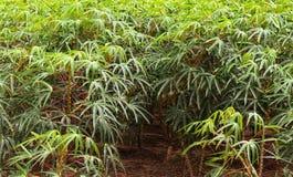 Piantagione su un'azienda agricola, agricoltura di Mandioca del Sudamerica Immagini Stock Libere da Diritti