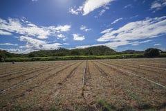 Piantagione Sugar Cane Fotografia Stock Libera da Diritti