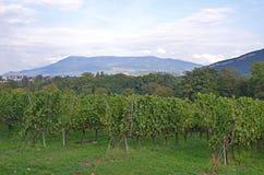 Piantagione Svizzera dell'uva Fotografia Stock