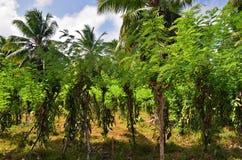 Piantagione tropicale della vaniglia Fotografie Stock Libere da Diritti