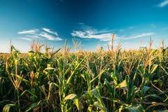 Piantagione verde del campo di grano del mais nella stagione agricola di estate Fotografia Stock