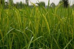 Piantagione verde del riso Immagine Stock Libera da Diritti