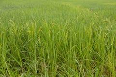 Piantagione verde del riso Fotografie Stock Libere da Diritti