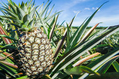 Piantagione verde dell'ananas nel giorno di estate Fotografie Stock Libere da Diritti