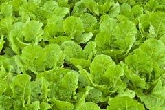 Piantagione verde della lattuga le foglie di verdure organiche verdi ha una h Immagini Stock Libere da Diritti