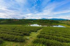 Piantagione verde di vista aerea sopra l'alta collina Fotografia Stock