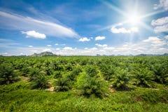 Piantagione verde fresca dell'azienda agricola dell'olio di palma agricoltura Fotografia Stock Libera da Diritti