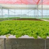 Piantagione verde idroponica delle verdure della lattuga di foglia Immagini Stock Libere da Diritti